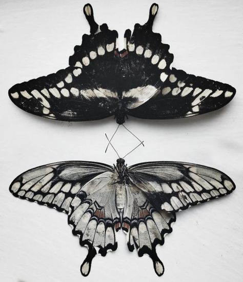 Black and White butterflies!