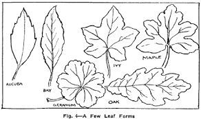 Leaves Drawing Clipart Best With Images Leaf Drawing Oak