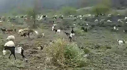 مشروع تربية الاغنام ومصادر للتمويل Breeding Goats Animals Horses