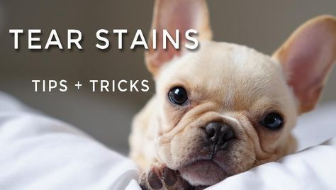 Tear Stains Our Top Tips And Tricks French Bulldog Dog Tear