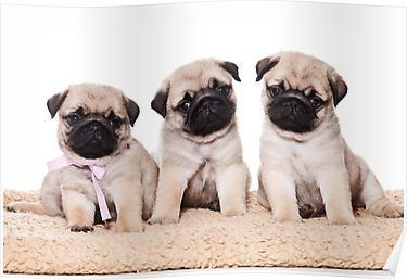 Three Pug Puppy Poster Puppies Baby Dogs Pugs