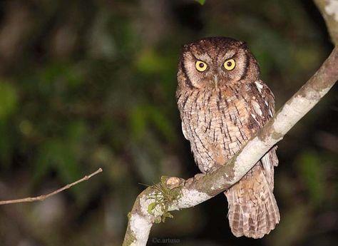 Black-capped Screech Owl (Megascops atricapillus). Photo by Christian Artuso.
