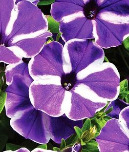 Petunia Cascadia Purple Gem Petunias Purple Garden Flower Seeds