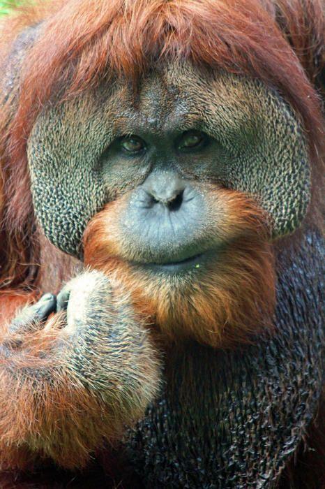 ✮ The Thinker - Orangutan
