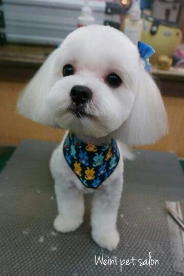 Maltese Maltese Haircut Dog Grooming Styles Dog Haircuts