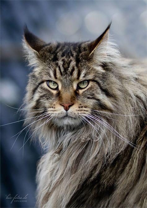 Maine Coon #cats #catlovers #funnycats #katzen #majaempfiehlt #www.majaempfiehlt.de