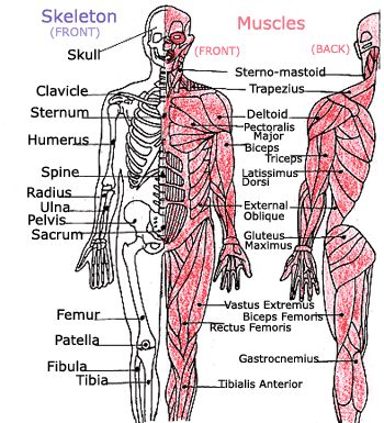 we made up rhymes to help me memorize all the bones and muscles in, Muscles