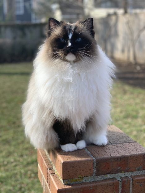 How Long Do Ragdoll Cats Live On Average Ragdoll Expectancy In 2020 Ragdoll Cat Cats Ragdoll