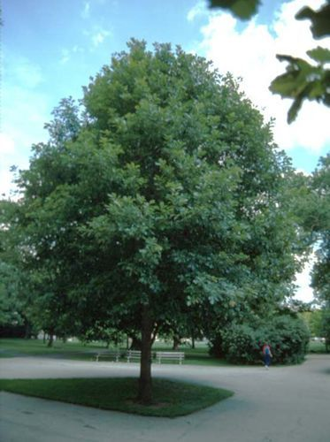 We Planted Two Of These Monterrey Oaks In Our Back Yard They Aren T This Big Yet But Have Grown A Lot Are G White Oak Tree Trees To Plant Landscape