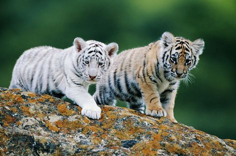 Baby White Tiger, White Bengal Tiger, Cute Tiger Cubs, Cute Tigers, Tiger Fotografie, Tiger Photography, Wildlife Photography, Funny Tiger, Tiger Pictures
