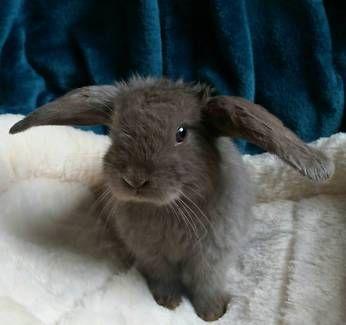 Hand Raised Mini Lop Babies Rabbits Gumtree Australia Yarra Ranges Seville 1172568202 Mini Lop