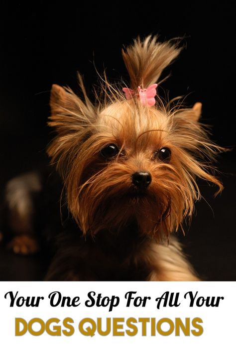Treat Your Pet Right With These Dog Care Tips Yorkie Dogs Dog