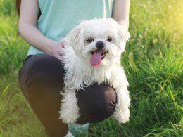 Maltese Puppies Barnsley South Yorkshire Pets4homes