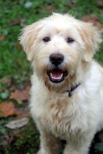Adopt Cher On Petfinder Dog Adoption Poodle Mix Dogs Poodle Mix