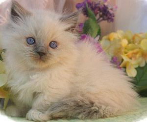 Persian Cat For Sale Des Moines Ia Munchkin Cats Des Moines Ia Persian Cats Des Moines Ia Himmie St Louis Himalaya Cats Munchkin Cat Himalayan Kitten