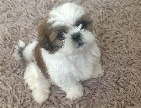 Shih Tzu High Resolution Cute Maltese Shitzu Puppies Shih Tzu Puppy Baby Shih Tzu