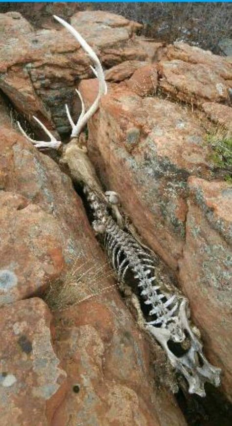 A horrifying story. This stag fell and wedged himself into this narrow earth cleft. Unable to free himself of even move, He starved to death