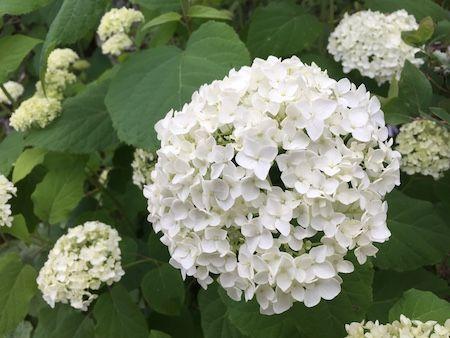 Encyclopedia 72 Seasons おしゃれまとめの人気アイデア Pinterest Kuramochi Youske アナベル 花