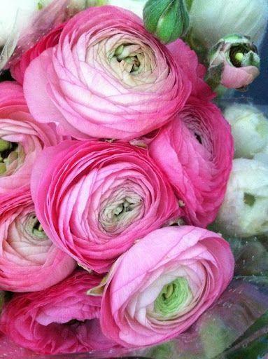 Ranunculus Cats Ranunculus Beautiful Pink Flowers Ranunculus Flowers Flowers