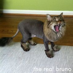 -repinned- Bruno with a lion cut. I think that's just a yawn there. | Bruno ... #creativecatgrooming