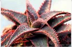 Aloe Christmas Carol   Succulent   Pinterest