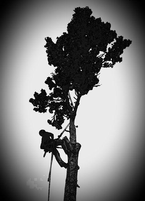 Climbing a sweetgum tree to cut it down in Manhattan Kansas