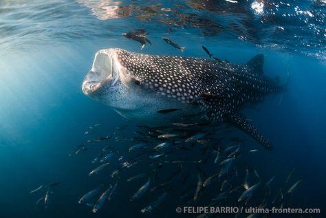 Whale shark by Felipe Barrio