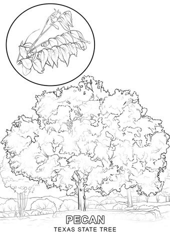 Texas State Tree Coloring Page Tree Coloring Page Coloring