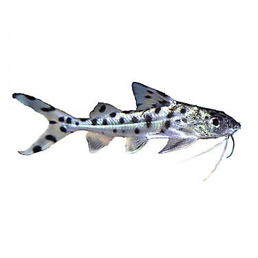 Pictus Catfish Pet Fish Fish For Sale Freshwater Fish