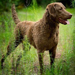 Chesapeake Bay Retriever Dog Breed Dog Breeds Chesapeake Bay