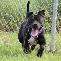 Inverness Fl Mixed Breed Large Meet Wolverine A Pet For Adoption Bulldog Breeds Bulldog Puppies Dog Adoption