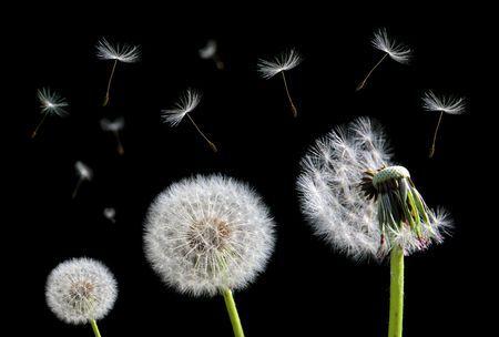 Stock Photo Dandelion Flower Flowers Black Backgrounds