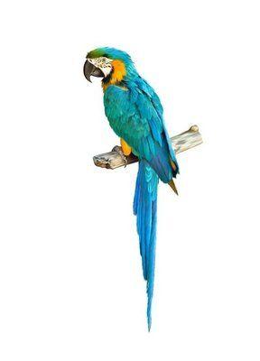Naklejka Na Sciane Kolorowe Niebieski Papuga Ara Arara Azul