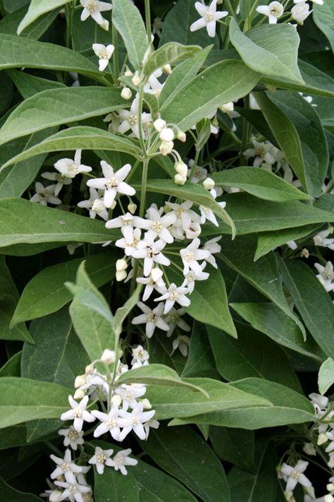 Cruel Plant for sale buy Cynanchum ascyrifolium