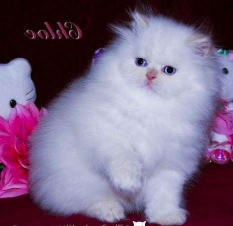 Gambar Kucing Persia Lucu Kucing Persia Menggambar Kucing Kucing