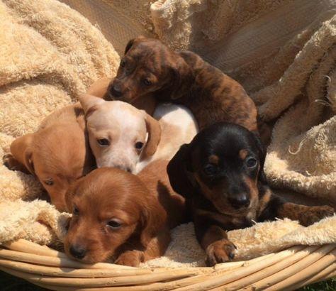 Dachshund Puppies In Randleman North Carolina Hoobly