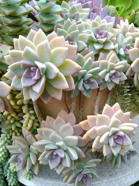 Ghost Plant In Pot Trailing Over Edge Avec Images Cactus Et