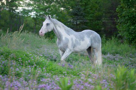 horsesarecreatures:World Champion Western Pleasure Gelding Attraction © Katarzyna Okrzesik-Mikołajek