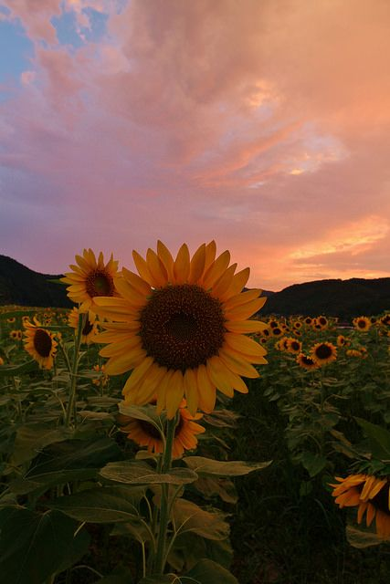 Sunflowers – Sayo City, Hyogo Prefecture, Japan ::… C – Flowers Nature Ideas – Blumen hintergrund iphone
