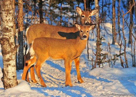 Two Whitetail Deer.  Paul Cyr Photography:  http://www.crownofmaine.com/paulcyr/olympus-daily-photos/