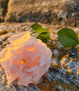 بوكيهات ورد شيك جدا 2020 Rose Plants Wallpaper