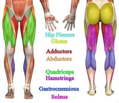 lower body major muscle diagram | anatomy | pinterest, Muscles
