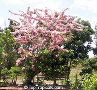 Cassia nodosa hybrid - Pink Shower, Appleblossom - grafted