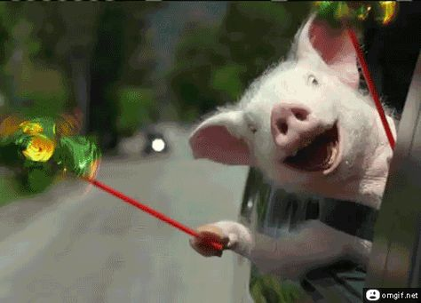 Funny Pig GIFs