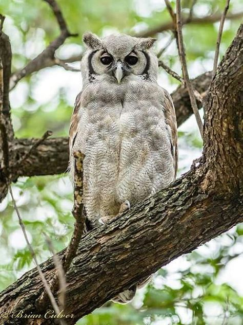 Verreaux's Eagle Owl (With images) | Owl species, Owl ...