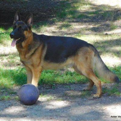 Akc Ofa Lifetime Warranty Female German Shepherd Puppies For