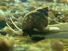 Operculum (gastropod) - A photo of an individual of the freshwater snail species Bithynia tentaculata showing how the back of the shell rests on the round operculum on top of the foot as the snail moves along.