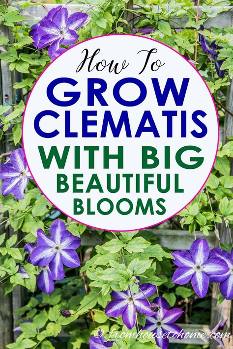 Clematis care guide is AWESOME! It tells you how to grow Clematis, how to prune Clematis and what varieties will do well in your garden design. Click through to learn all about these perennial vines with beautiful flowers. Clematis Care, Clematis Plants, Clematis Varieties, Blue Clematis, Clematis Trellis, Clematis Flower, Garden Trellis, Perrenial Flowers, Part Shade Perennials