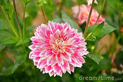 Dahlias Are Real Queens Of Gardens They Delight With The Vastness Of Colors And The Splendor Of Exceptionally Attractiv Unusual Flowers Dahlias Garden Flowers
