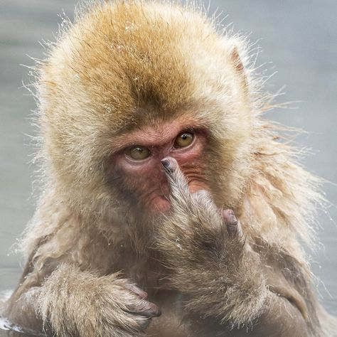 This Japanese macaque monkey was not ready for his close-up. He was taking a bath at the Jigokudani Snow Monkey Park in Japan when wildlife photographer Jari Peltomäki decided to snap him. As the 51-year-old took the picture, the monkey looked straight into the camera's lens and flipped the bird.